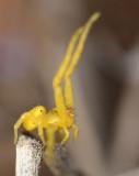 hallelujah crab spider...