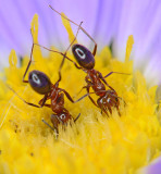 Pyramid ants in aster