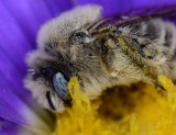 Chimney bee in aster