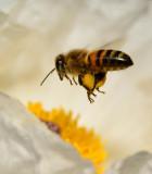 honey bee and white prickly poppy