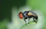 Small fly big eyes!