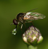 Bee fly making a spit ball on frog fruit.