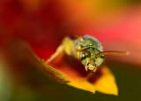 Green sweat bee on indian blanket flower