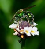 Metallic Green Bee on Frogfruit flower