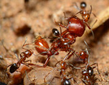 pyramid ants defending territory against a harvester ant.