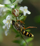 Crab spider catches a hover fly.