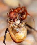 Harvester ant 200mm F4 with reversed 105mm bellows lens