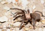 Small tarantula at Seminole Canyon SP (SW Texas).