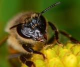 Imported european honey bee.