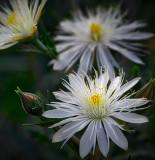 Stick Leaf flower