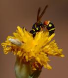 Mason/Potter bee on rayless green thread