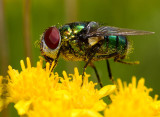 Flies do their share of pollinating too.