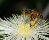 European honey bee on stickleaf flower