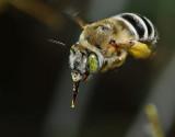 California Anthophora bee
