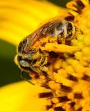 Sweat bee on skeleton leaf golden eye