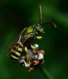 metallic green sweat bee on frog fruit