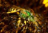 metallic green sweat bee