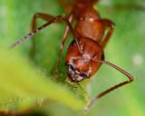 Carpenter ant on a sunflower