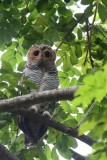 Chouette des Pagodes (Spotted Wood Owl)