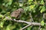 Bruant chanteur (Song sparrow)