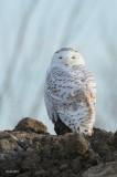 Harfang des Neiges (Snowy owl)