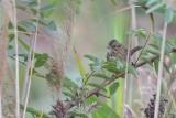 Bruant de Lincoln (Lincoln's sparrow)