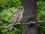 Chouette rayée (Barred owl)