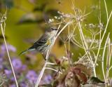 Paruline à croupion jaune (Yellow-rumped warbler)