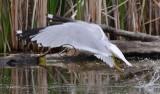 Goéland à bec cerclé (Ring-billed gull)