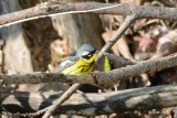 Paruline à tête cendrée (Magnolia warbler)