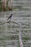 Tyran tritri (Eastern kingbird)