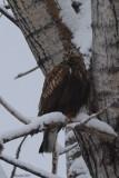 Buse pattue (Rough-legged hawk)
