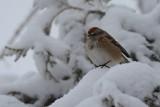 Bruant hudsonien (American tree sparrow)