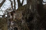 Grand duc d'Amérique (Great-horned owl)