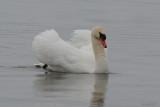 Cygne tuberculé (Mute swan)