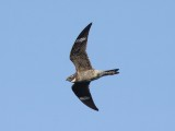 Goatsuckers, Swifts, Hummingbirds & Kingfishers