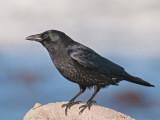 Carrion Crow  Llandudno
