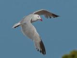 Audouin's Gull  Ibiza