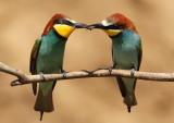 European Bee-eater  Hortobágy N.P.Hungary