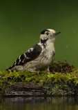 Lesser Spotted Woodpecker  Hortobagy, Hungary