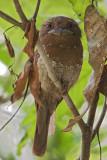 Sri Lankan  Frogmouth,Kerala