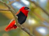 Northern Red Bishop