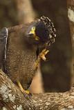 Crested Serpent Eagle  Sri Lanka