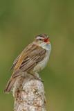 Sedge Warbler  Gronant