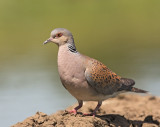 Turtle Dove  Hungary