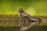 Starling   Hungary