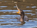 (Great) Cormorant    Wales