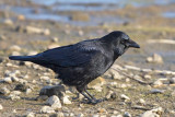 Carrion Crow  Conwy RSPB