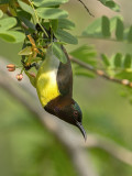 Purple Rumped Sunbird    Sri Lanka