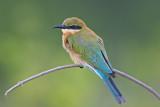 Blue-tailed Bee-eater    Sri Lanka